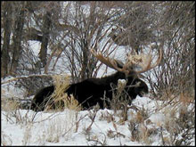 Shiras Moose Hunts in the West Elk Wilderness