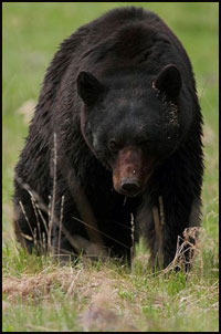 Extreme Black Bear Hunts
