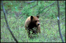 Bear hunts in the West Elks