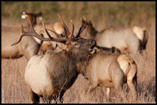 Elk Hunts in the West Elk Wilderness