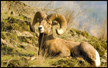 Hunt the Big Horn with Tenderfoot Outfitters