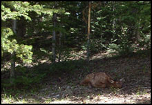 A baby elk resting by the trail